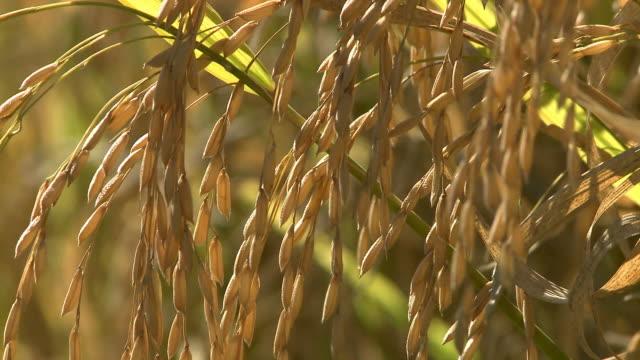 Rice crop video