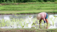 Rice cultivation video