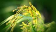 Rice farm. video