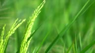rice farm video