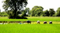 Rice farmers in Thailand video