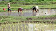 Rice farmers on rice field in Thailand video