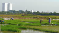 Rice farmers work as new skyscrapers are revealed in the background pan video