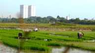 Rice farmers work as urban growth encroaches on rural land dolly shot video