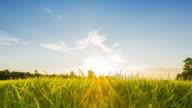 Rice field and beautiful sunset. video