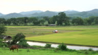 Rice field and farming video