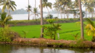 Rice field and palm trees video