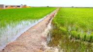Rice field, delta de Ebro. video
