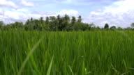 Rice field in Sri Lanka, close up video