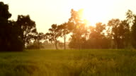 Rice field in Thailand. video