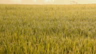 Rice field in the morning. video