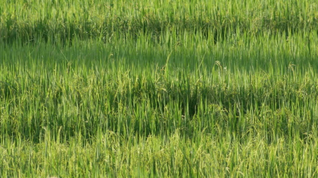 rice field scene with gently wing video