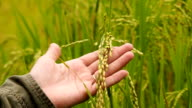 Rice field video
