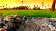 Rice fields in Thailand with palm trees in background. video