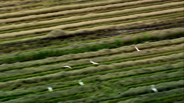 Rice Fields Outside Aparecida  - Aerial View - São Paulo, Roseira, Brazil video