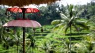 Rice fields, Padi Terrace, Ubud, Bali, Indonesia video
