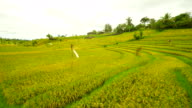 AERIAL Rice Fields video