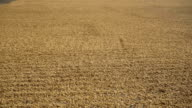 Rice is dried on the road in outdoors video