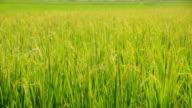 Rice kernels before harvest video