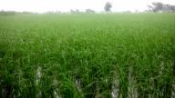 Rice paddy video