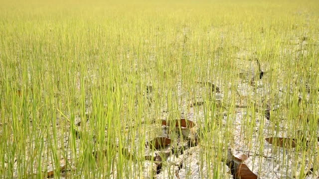 rice planted on dry and cracking soil due to drought. video