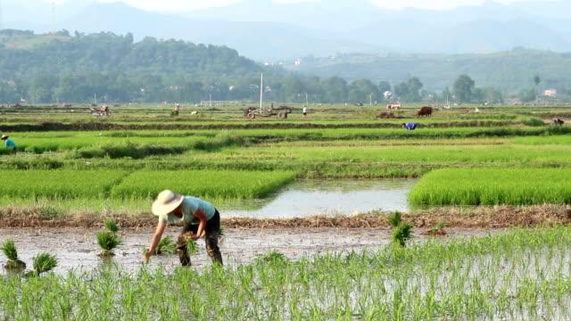 Rice Planting video