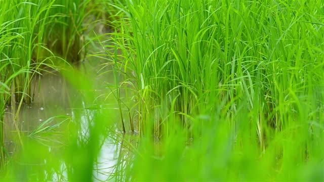 Rice seedlings video