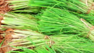 Rice seedlings,Tilt Down video
