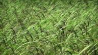 Rice spike in field video
