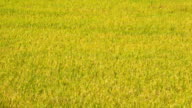 Rice Sprout Growing Up In Farm 90 Days Time Lapse (zoom out) video