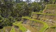 Rice terrace fields with palm trees in background video