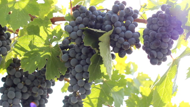rich harvest of grapes video