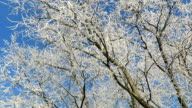 rime frost on tree tops of willow trees in winter against blue sky. video