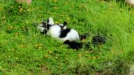 Ring Tail Lemur video