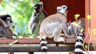 Ringtail lemur video