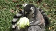 Ring-tailed lemur eat Lettuce video