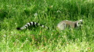 Ring-tailed lemur eating herbs and flowers video