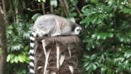 Ring-tailed lemur sit on a tree video