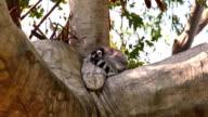 Ring-tailed Lemur (Lemur catta) sleeping on the tree video