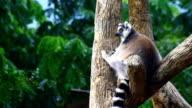 Ring-tailed lemur video