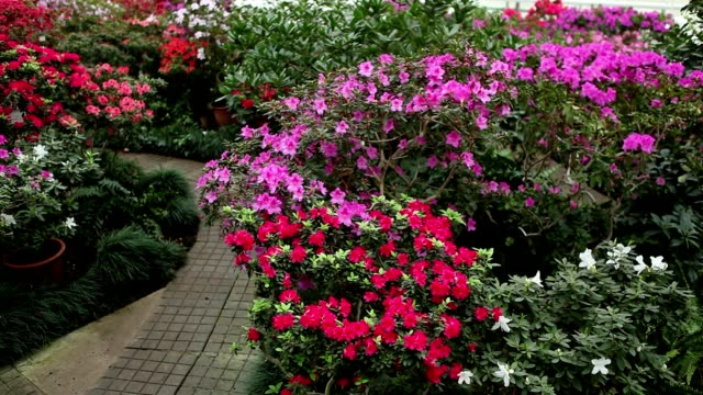 Riot of Flowers on Various Bushes Azaleas Along Paved Stone Walkway video