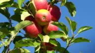 Ripe Apples In A Plantation Close-up TILT UP video