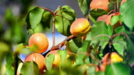Ripe apricots on tree in the orchard video