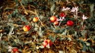 HD: Ripe Bio Apples Falling From Tree video