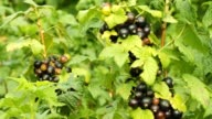 Ripe black currant video
