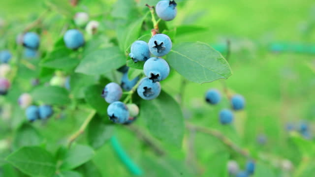 Ripe blueberries on the branches video