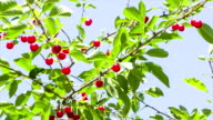 Ripe cherry on a background of blue sky. video