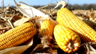 Ripe corn cob on field video