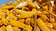 Ripe corn cob picking video