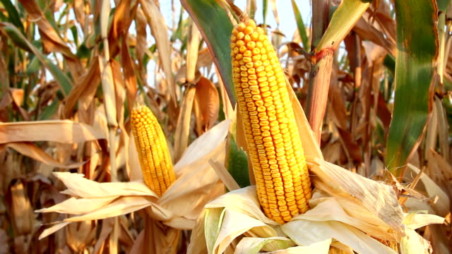Ripe corn cob video